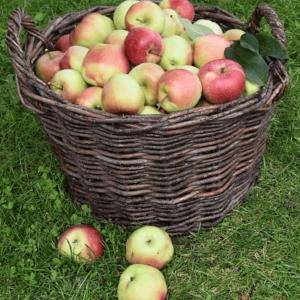 Korb mit reifen Äpfeln gefüllt
