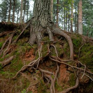 Wurzeln eines Baumes am Hang