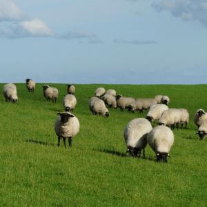 Schafherde auf einer Wiese